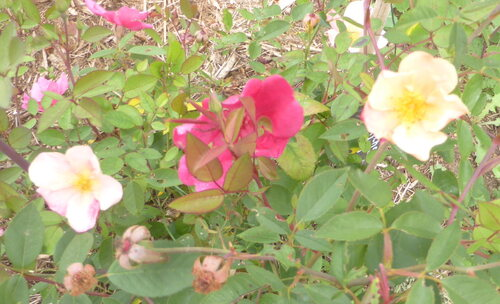 - Une ancienne rose et une récente devinette -