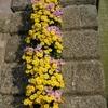 Chrysanthème cascade