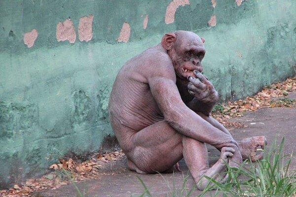 chimpanzé sans poils
