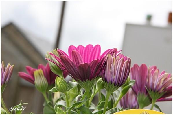 Fleurs-2-5327-Osteospermum.jpg
