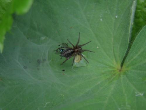 araignée noire dos