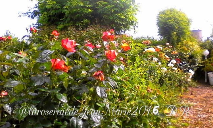 je Jardin de Jean Marie ,ma Roseraie 2
