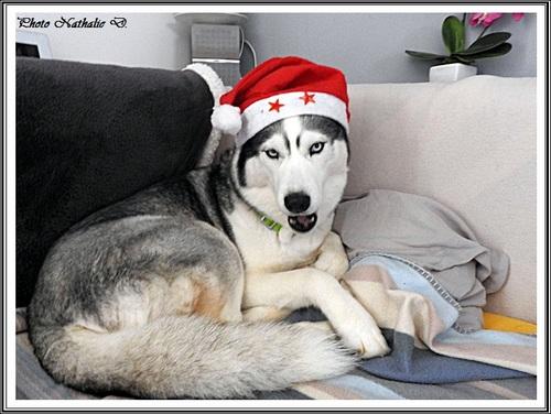 Huskys de Noël (27 décembre 2016)