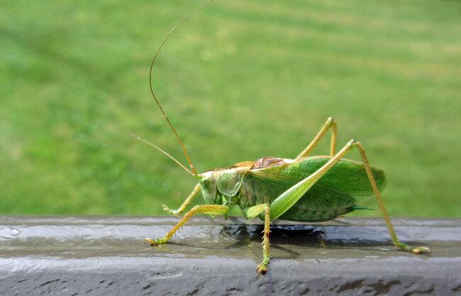 La sauterelle verte mâle