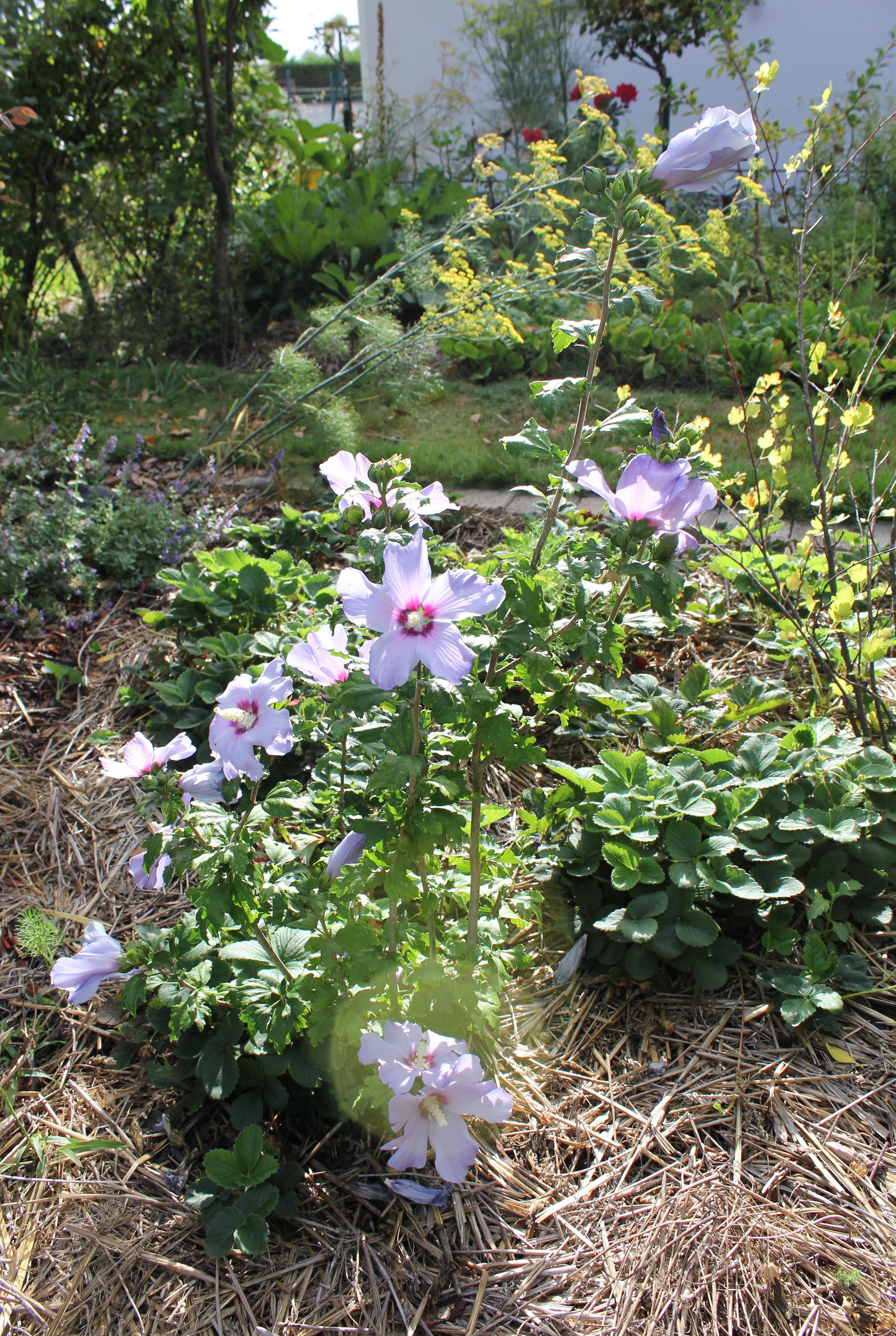 Les hibiscus syriacus du jardin - Sable émouvant