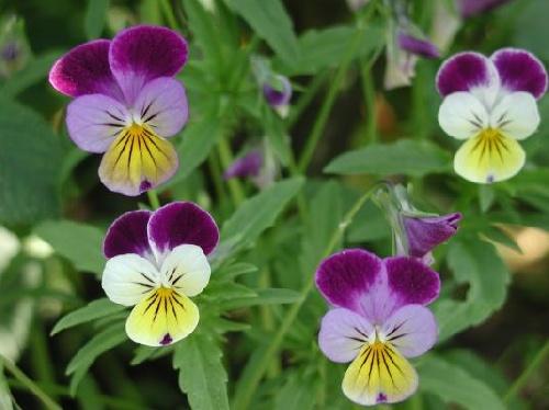 Violette sauvage.