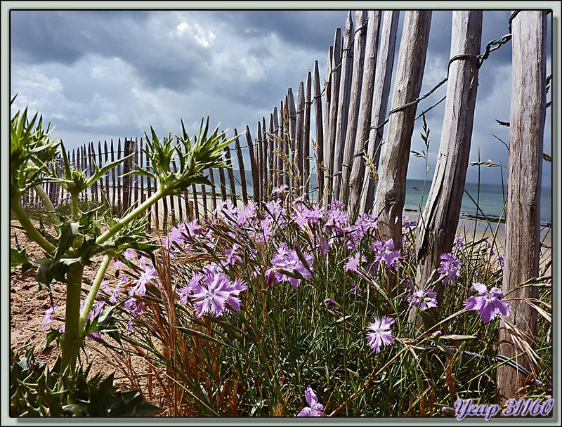 Œillet de France ou des dunes (Dianthus hyssopifolius) - La Couarde-sur-Mer - Ile de Ré - 17