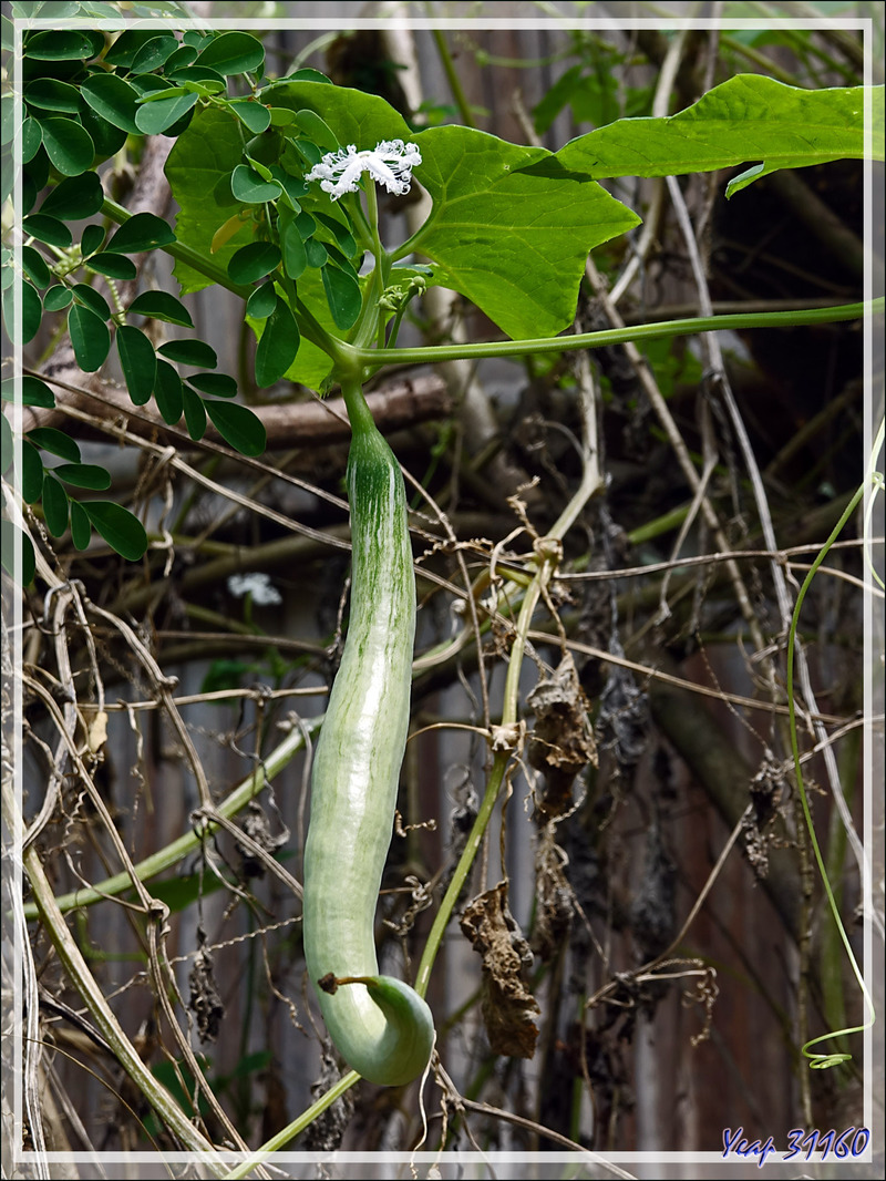 Cucurbitaceae Serpent végétal, Fleurs dentelles, Courge serpent, Patole, Serpent gourde (Trichosanthes cucumerina) - Antanabe - Nosy Sakatia - Madagascar