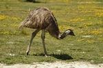 Emeu d'Australie