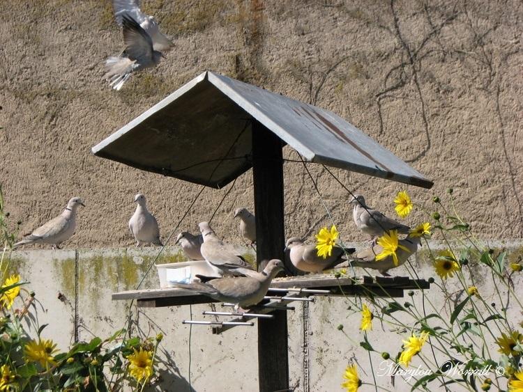 Ingersheim : Repas des oiseaux