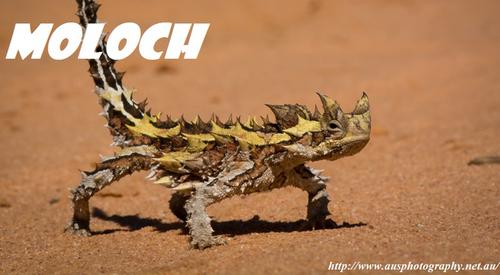 Le moloch, un reptile inconnu ou presque