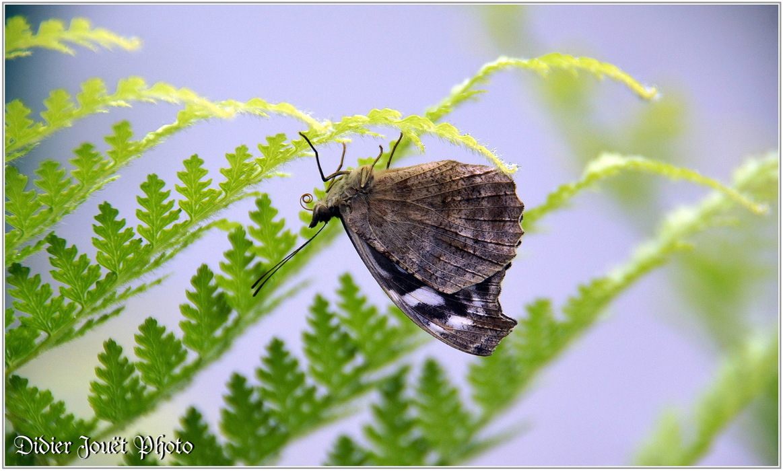 Petite Tache / Myscelia cyaniris