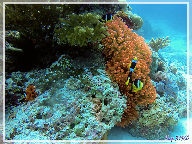 30/11/18 : Anémone cuivre à bouts renflés, à tétines, Anémone-bulle, Bulb-tentacle sea anemone (Entacmaea quadricolor) et Poisson-clown de Madagascar - Spot Lapunta - Moofushi - Atoll d'Ari - Maldi