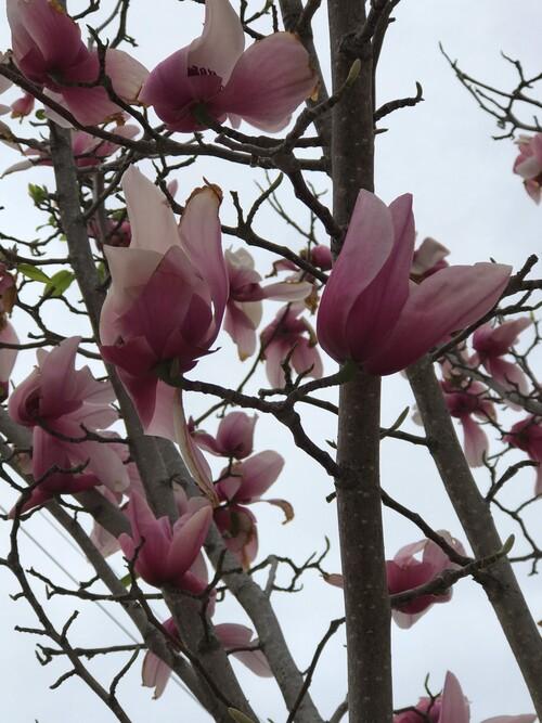Magnolia de Soulange