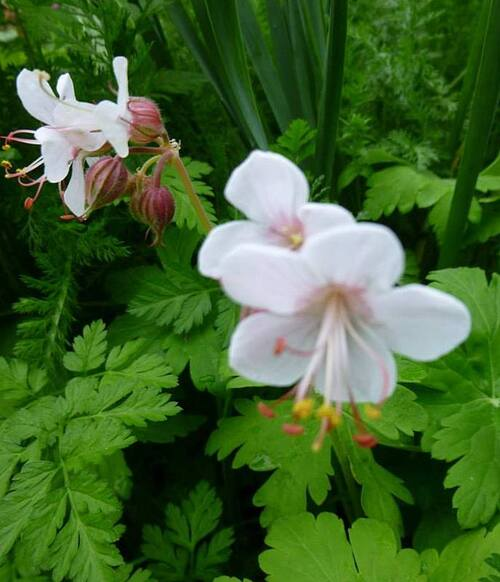 Les géraniums vivaces 2