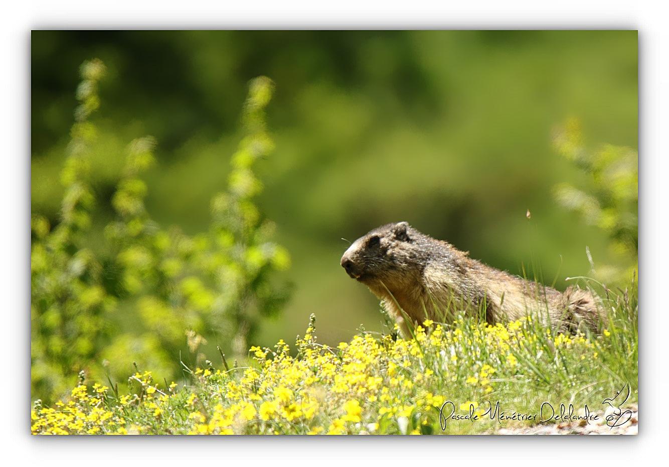 Marmottes communes dans les Hautes-Pyrénées