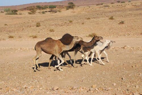 Quelques chameaux