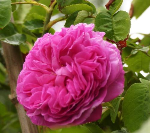 la reine des fleurs au jardin de l'abbaye saison 2017 3