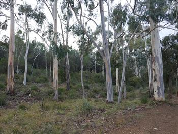 Le bosquet d'eucalyptus à l'aller ...