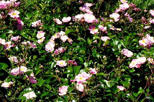 Mes rosiers en fleurs