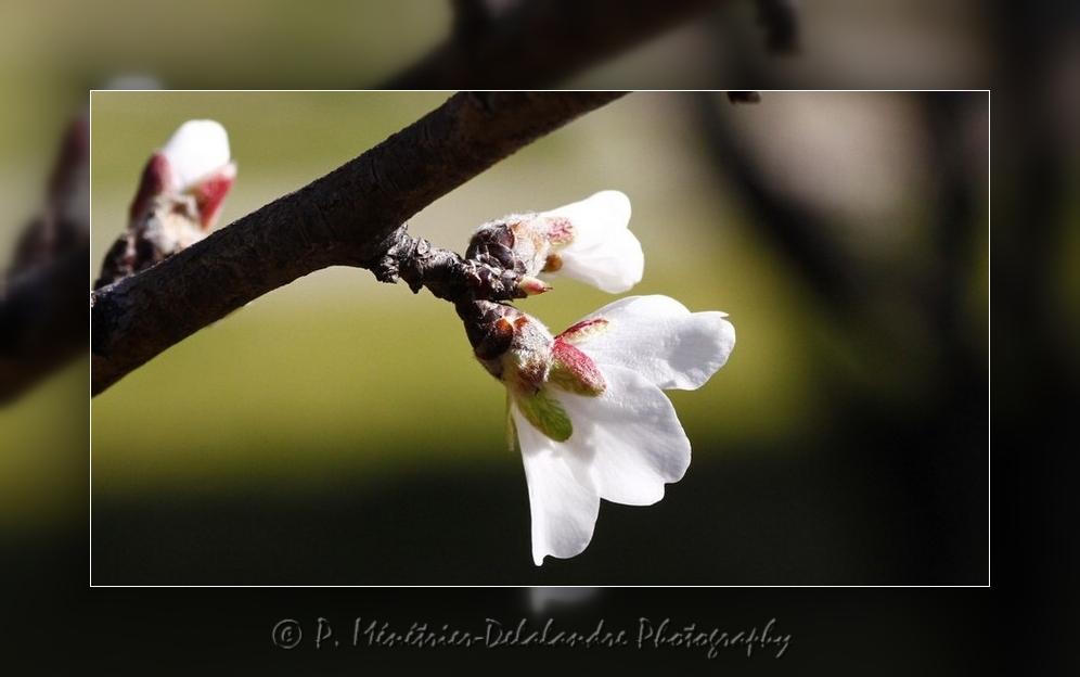 Fleurs d'amandiers...