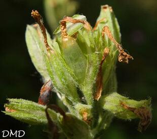 Primula elatior - primevère des bois