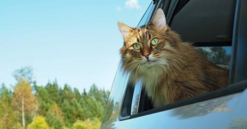 Un chat rentré en Blablacar !