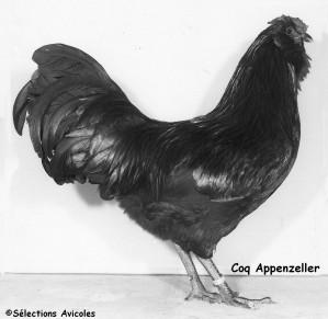 Coq Appenzeller