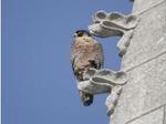 Les faucons pélerins....