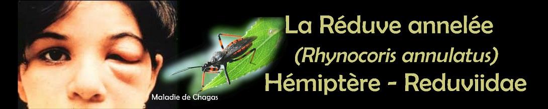 La Réduve annelée   (Rhynocoris annulatus) Hémiptère - Reduviidae