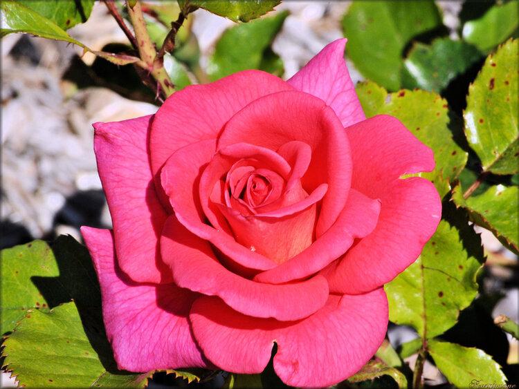Photo de rose rose (fleur-flore)