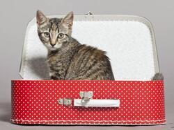 Les conditions à respecter lorsqu'on voyage avec son chat