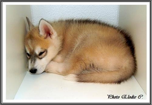 Le Husky a-t-il besoin de beaucoup d'espace ?