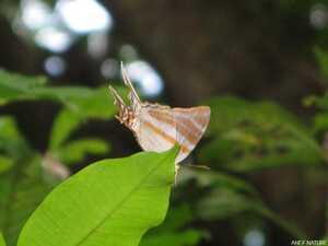 Marpesia orsilochus