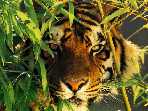 Chasse au tigre en Indochine (Roland Dorgelès)