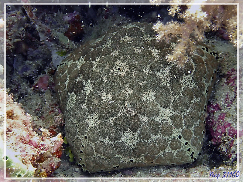 Etoile-coussin, Culcite, Etoile-coussin requin, Cushion-star, Spiny cushion star, Pillow starfish (Culcita schmideliana) - Beangovo - Nosy Mitsio - Madagascar