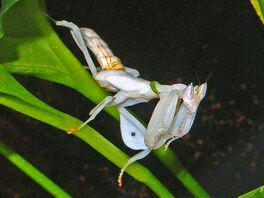 Hymenopodidae - Hymenopus coronatus.JPG