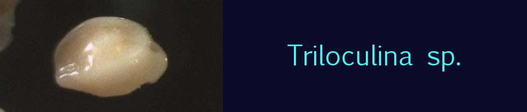 Triloculina sp.