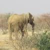 Mali Elephant sur le bord de la route à Boni