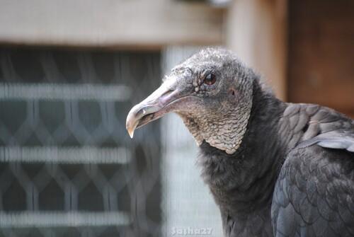 (5) Le vautour urubu.