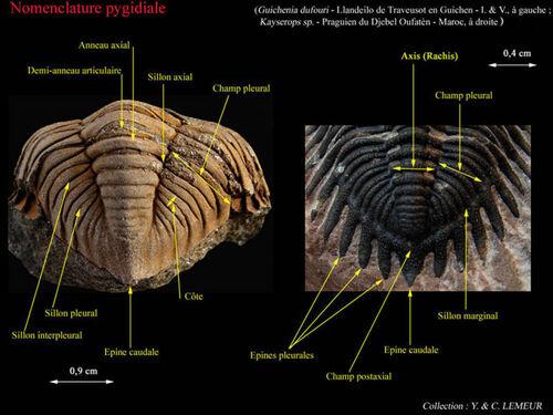 La reconstruction de Flexicalymène et Isotelus...