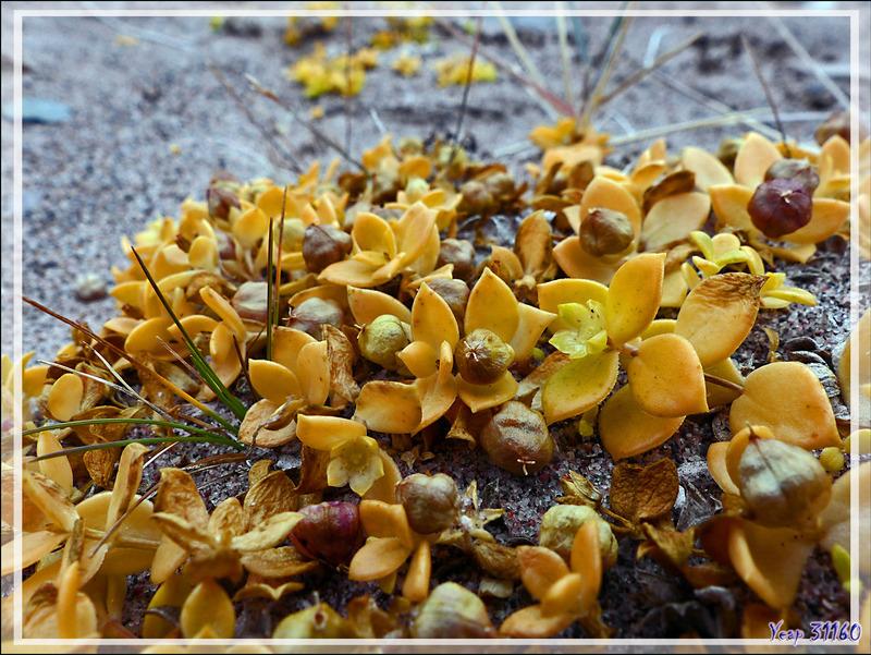 Honckénye faux-pourpier, Beach sandwort, Maliksuagait (Honckenya peploides) - Edinburgh Island - Nunavut - Cana