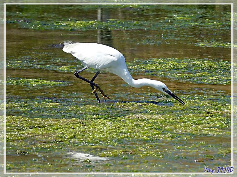Animation .gif : Aigrette garzette, Little Egret (Egretta garzetta) - La Couarde-sur-Mer - Île de Ré - 17