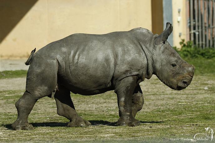 Unesco - Le second rhinocéros né en Ardèche... depuis la préhistoire