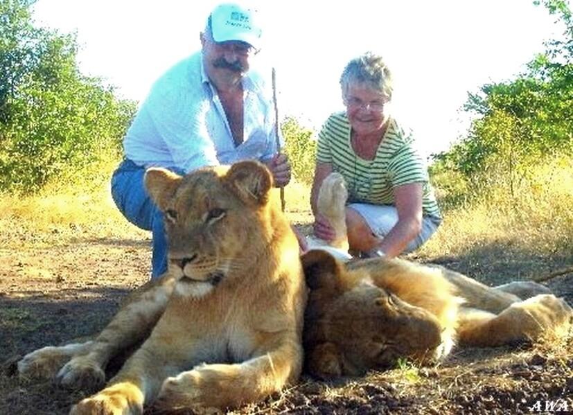 Balade au zimbabwe avec des lions