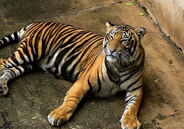 800px-Bengal Tiger