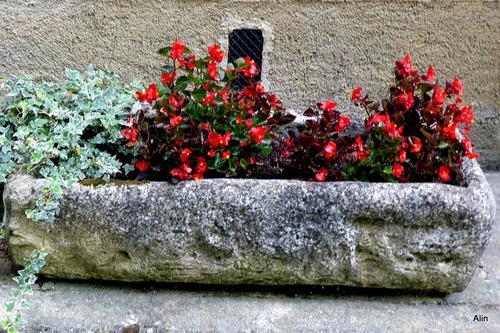 Fleurs rouges de bégonia