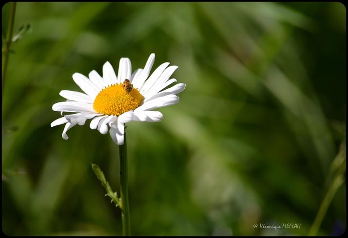 Jardin des Plantes : Petites pâquerettes ...