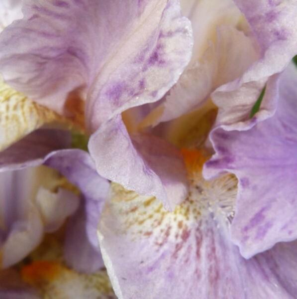 iris-de-rocaille-wimple---avril-2014---au-coeur-de-la-fleur.jpg