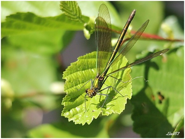 Insectes-2-1609-calopteryx-F-ailes-ouvertes.jpg
